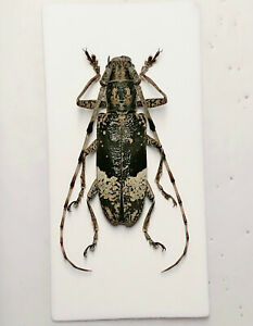 Cerambycidae sp Sichuan 8231