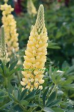 PERENNIAL FLOWER LUPIN RUSSELL CHANDELIER 70 FINEST SEEDS