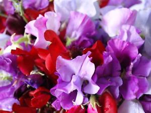 "Sweet Pea Seeds ""Royle Family Mix"" (25 Seeds ) Beautiful Selection"