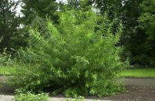 50 Common Osier Willow 4-5ft, For Basket Making,Salix Viminalis Hedging Plants