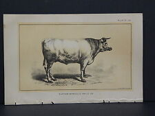 Cows, Bulls, Cattle, Dairy Farming, 1888 Engraving #003 Durham-Mancelle Prize Ox