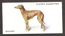 1931 UK Arthur Wardle Dog Art Full Body Study Player Cigarette Card WHIPPET