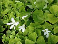 Glücksklee Zwiebeln Oxalis triangul. grüne Blätter mit weißen Blüten 10 Zwiebeln