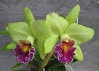 AWARDED! BLC. ERIN KOBAYASHI ~AMY CHEN~ AM/AOS FRAGRANT CATTLEYA ORCHID Plant