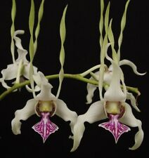 Den. Stratiotes Orchid Plant
