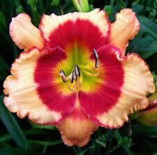 Daylily Plant FOOLISH DRAGON 2 Fans Perennial Selman Peach Red Flower