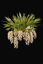 Cymbidium Paradisian Surprise remake  68mm pot seedlings orchid pendulous $8.80