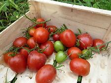 15 graines semences tomate OLIVETTE GRIMPANTE    Seeds