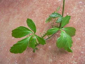 Jiaogulan Pflanze der Unsterblichkeit 25 Samen - Gynostemma pentaphyllum