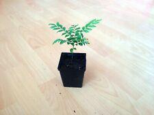 Curry leaf tree, Sweet neem ( Murraya / Bergera koenigii ) 1 live plant in 7P.