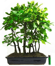 hornbeam - carpinus betulus outdoor bonsai tree in japanese pot (7 tree group)