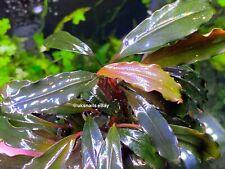 🌟 RARE & METALLIC 🌟 Bucephalandra sp. Red *pest snail free!