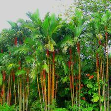 50 Cyrtostachys Renda Plant Seeds Lakka Lipstick Red Palm Bonsai Tropical Tree