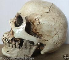 Resin Replica Life Human Skull Model Medical Anatomy Halloween Collectable