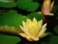 50 pcs Water Lily Plant Lotus Aquatic Seeds Flower Size Bowl Yellow