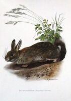 Impression Affiche Histoire Naturelle le Lapin de Garenne Oryctolagus Cuniculus