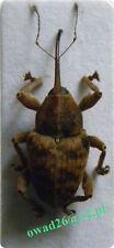 Curculio venosus (Gravenhorst, 1807) Poland M/F