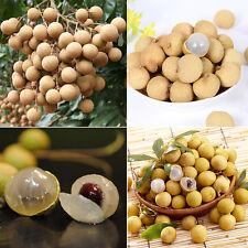 5pcs  Dwarf Longan Sri Chompoo/Dragon Sweet Exotic Tropical Fruit Bonsai Seeds