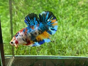 Live Betta Fish - Male - Fancy Nemo Betta HMPK , Age 4 month From Thailand