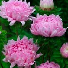 Aster - Peony Duchess- Coral- 50 Seeds- BOGO 50% off SALE