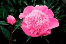 PEONY/PEONIES PLANT MADAM EMILE DEBATENE 3 TO 5 EYES Shipping Fall 2017