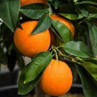 "BIG!!!ORANGE FRUIT TREE REAL LIVE PLANT CITRUS 2-3ft""-VALENCIA ORANGE"