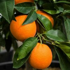 "BIG!!!ORANGE FRUIT TREE REAL LIVE PLANT CITRUS 2-3ft""-VALENCIA ORANGE"