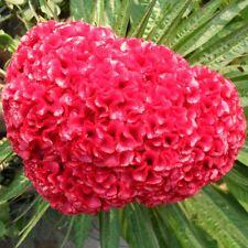40 Giant Head Shaped Cockscomb Seed Celosia Cristata Garden Flowers