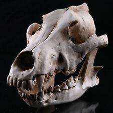 Snow leopard Skeleton Head Skull Halloween Statue Resin Animal Model Life Size