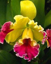 Yellow Pink Dragon Rare Orchid Petals 5 seeds Rare US seller Rare Unusual