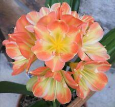 2 Amaryllis Usa Clivia Seeds Hattori Malala (Japan) X Hattori Kylie (Japan)