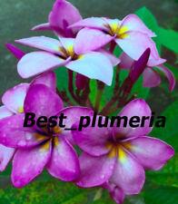 Plumeria Seeds/Flowers/ BeauetySweet 100 Seeds Rare!!
