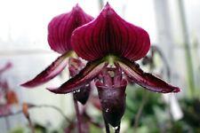 Paphiopedilum vinicolor knospig, Frauenschuh, Orchidee