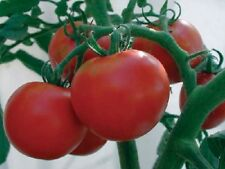 Rutgers Tomato Seed - Heirloom Slicing Tomatoes Garden Seeds (0.5gr to 20gr)