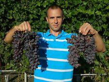 BAIKONUR pilzfeste veredelte Weintrauben Pflanze