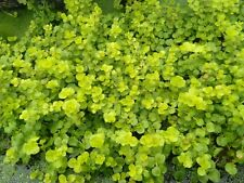 3Topf Lysimachia nummularia  Aurea, gelbes Pfennigkraut,Wasserpflanzen 2,70€/St