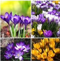 Saffron Bulbs 250g 8.82oz bulb Seeds