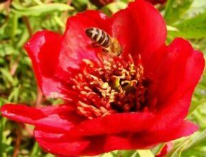 Red Tree Peony, PAEONIA DELAVAYI, ornamental shrub, showy flowers,15cm tall