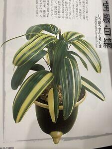 "Narrow Long Cupped Leaf Japanese Variegated Rhapis Palm ""Shippodenshiroshima"""