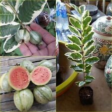 Variegated guava live plant Unique with the sweetest fruit, 60 cm tall Rare