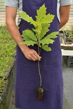 1 PLANT of QUERCUS RUBRA 4-6 inches high red oak