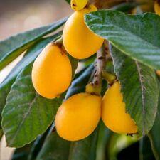 15 Loquat Seeds | Fresh Garden Seeds from Usa