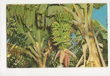 Bananas Australia Old Postcard 448a