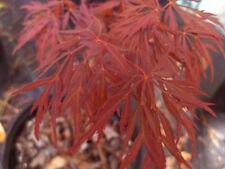 Rare 'Lionheart' Japanese Maple Tree Seeds. Acer palmatum. 25 Seeds.