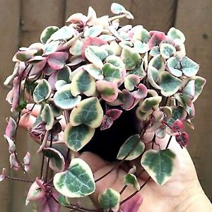 Variagated chain of hearts String of hearts  1 x rooted cutting    FREE POST