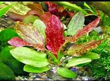 *BUY 2 GET 1 FREE* Red Flame Sword Echinodorus Red Flame Live Aquarium Plants ✅