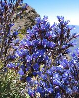 Echium Gentianoides ~ Lord OF Blue ~ Deep Sky Blue ~ RARE 5 Seeds ~ Endangered ~