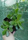 Heathy Rooted Jade Money Plant In 1/2 Gallon Pot 7_9