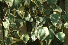 H5 (-15 to -10 ° C) Hardiness Vines & Climbing Plants