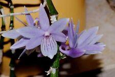 Orchid - Dendrobium gonzalesii